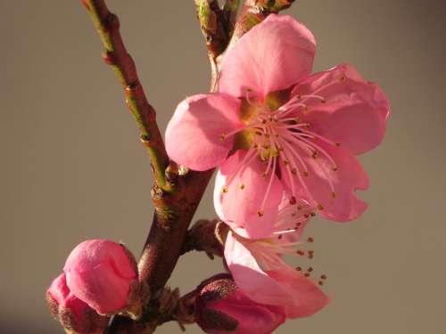 Nectarine Spring Bud Flowers Pink Rose