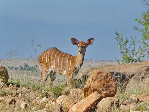 Nyala Antelope Female Africa Mammal Animal