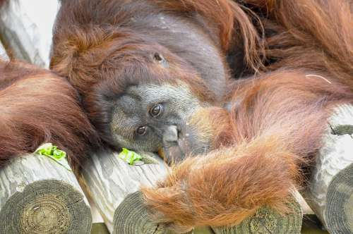 Orangutan Animal Mammals Primate Wildlife