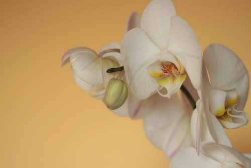 Orchid Phalaenopsis Butterfly Orchid White Yellow