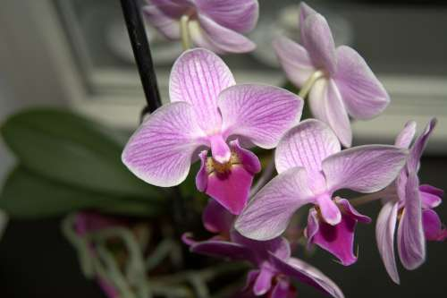 Orchid Purple Flower Bloom Plant Exotic Tropical