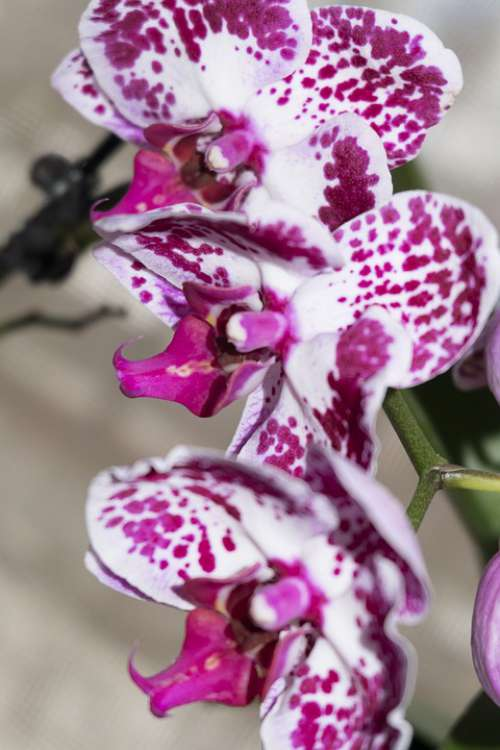 Orchid Flowers Pink Exotic Flora Spring Color