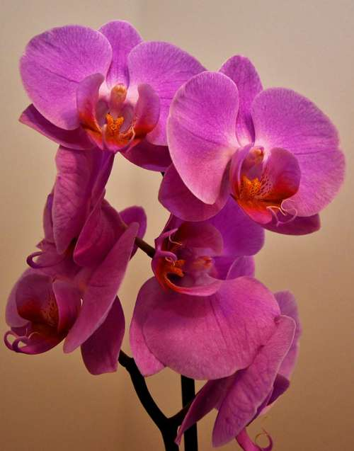 Orchid Flower Panicle Phalaenopsis Close Up Flower