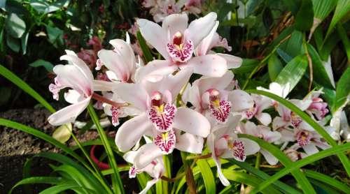 Orchid White Purple Nature Flower Orchidaceae