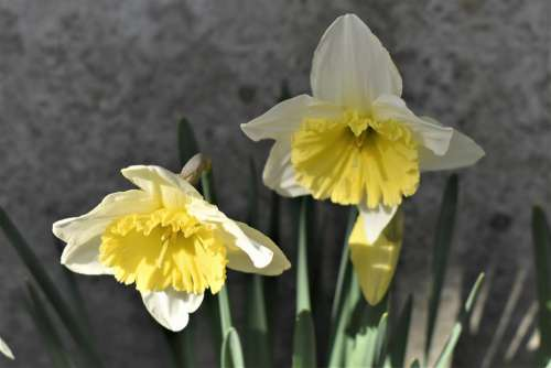 Osterglocken Flowers Plant Easter Spring Yellow
