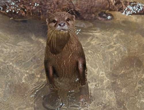 Otter Small Asian Animal Mammal Water River