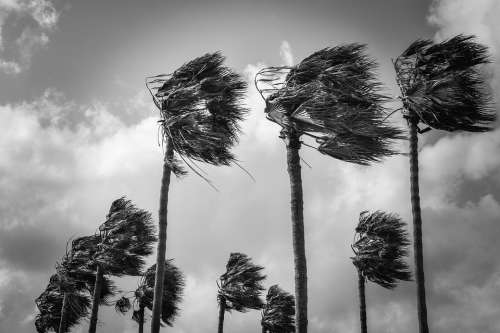 Palm Trees Wind Windy Weather Nature Hurricane