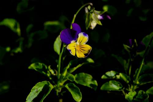 Pansy Garden Yellow Blue Flowers Nature Plant