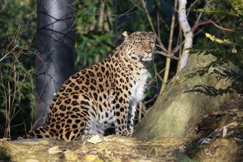 Panther Outdoor Nature Natural