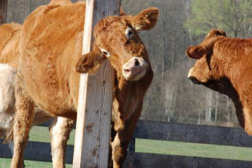 Pasture Cow Cattle Agriculture Animal Livestock