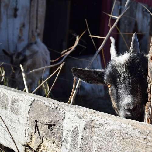 Peek-A-Boo Goat Pygmy Baby Livestock Domesticated