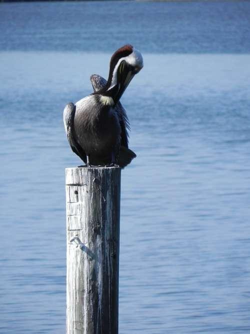 Pelican Morning Beach Wildlife Nature