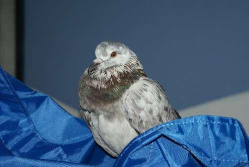 Pigeon Bird Plumage Feathers Animals