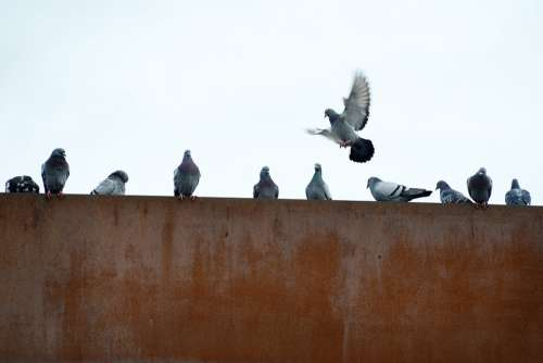 Pigeons Rusty City Flying Industry Wall Birds