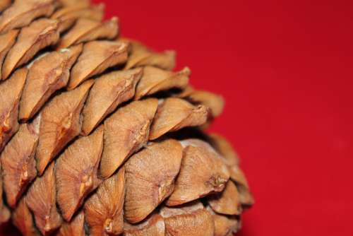 Pine Cone Tree Nature Surface Scales Brown