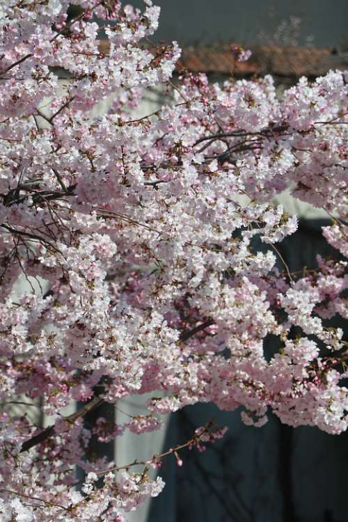 Pink Flower Tree Spring Nature Garden Petals Zen