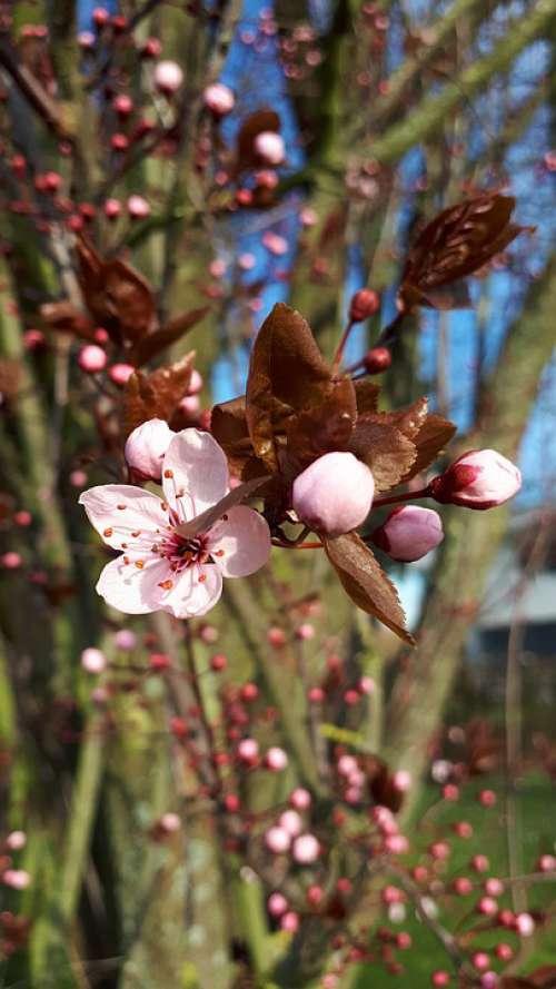 Pink Blossom Blossom Almond Blossoms Tree