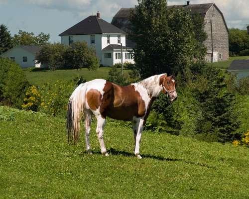 Pinto Horse New Brunswick Sussex Canada