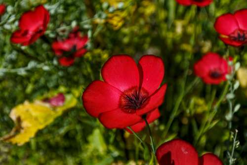 Plant Red Red Lein Flowers Nature Flower Garden