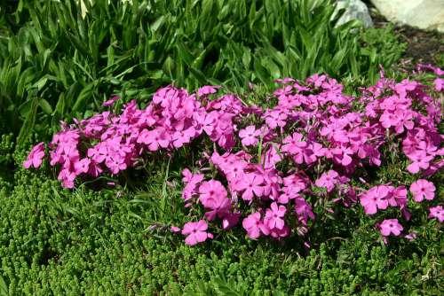 Plox Flower Garden Summer Pink Botany Flora