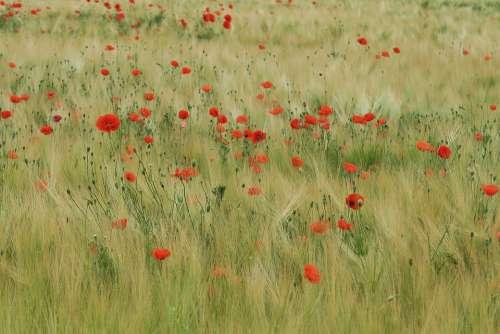 Poppy Field Of Poppies Red Field Poppy Flower