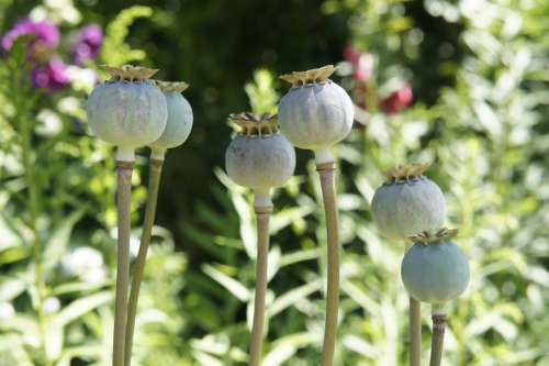Poppy Flower Garden Nature Summer Klatschmohn