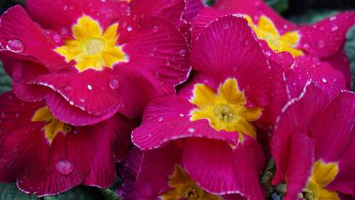 Primroses Spring Flowers Drop Of Water Wet Moist
