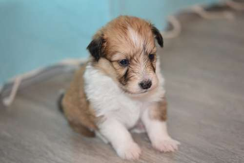 Puppy Puppy Cotland Dog Cross Pup Puppy Sitting