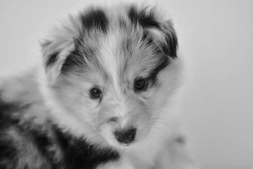Puppy Bitch Shetland Sheepdog
