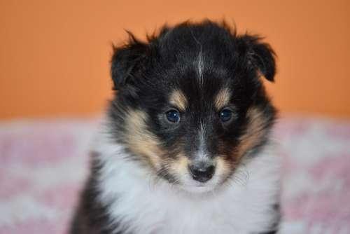 Puppy Puppy Shetland Sheepdog Animal Dog Pup