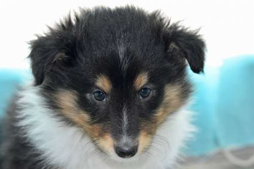 Puppy Puppy Shetland Sheepdog Pup Dog Soft
