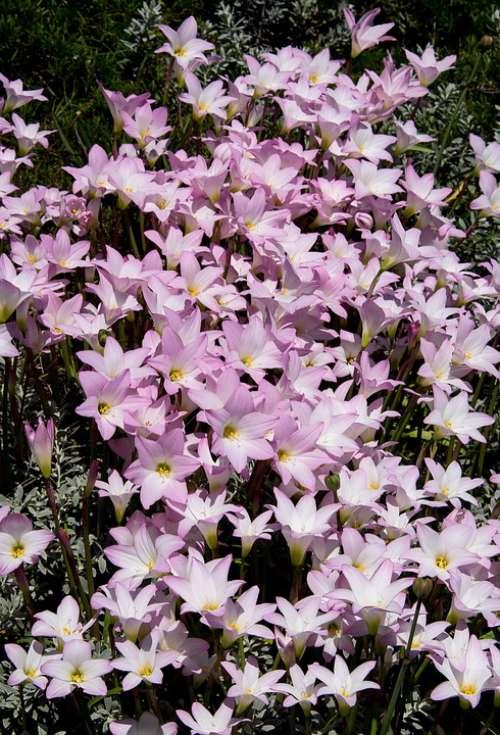 Rain Lilies Zephyranthes Grandiflora Pink Bulb