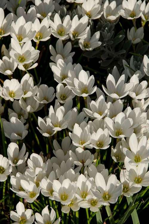 Rain Lily Zephyranthes Grandiflora White Bulb