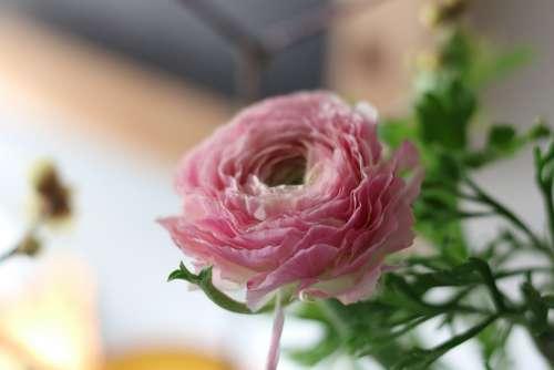 Ranunculus Blossom Bloom Fragrance Interior Bokeh