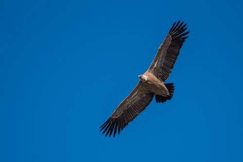 Raptors Griffon Vulture Extremadura Spain