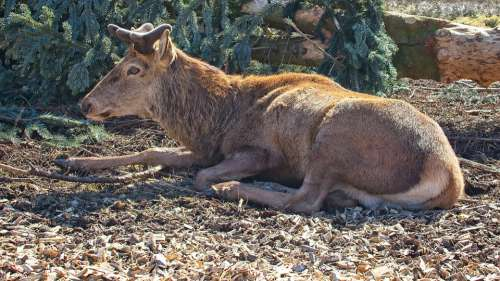 Red Deer Hirsch Animal World Antler Carrier Male