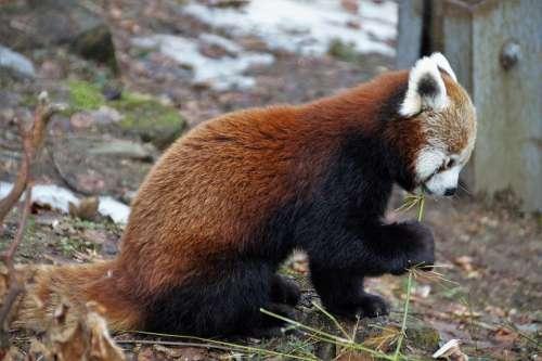 Red Panda Wild Animal Mammal Zoo