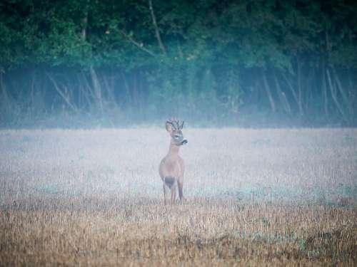 Reh Rehbock Wildlife Tier Wildtier Bock Natur