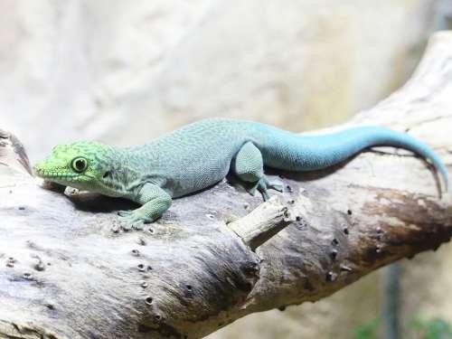 Reptile Lizard Animal Nature Animal World Wild