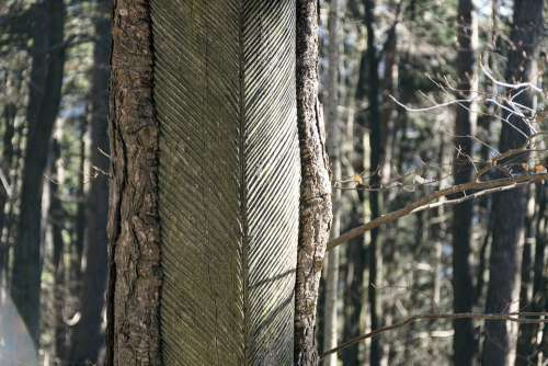 Resin Harvesting Nature Tree Woods Autumn Old