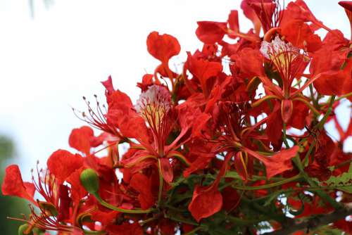 Reunion Island Flamboyant Nature Tree Flowers Red