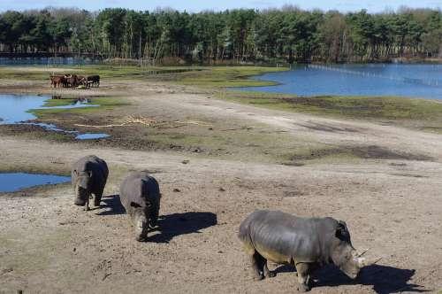 Rhino Rhinos Animal Horn Mammal Animals Landscape