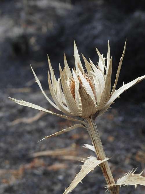 Rosa Volcano Eryngium Fire Crater Flower