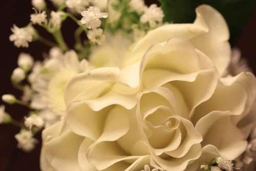 Rose Flowers Beauty Flower Bloom Nature