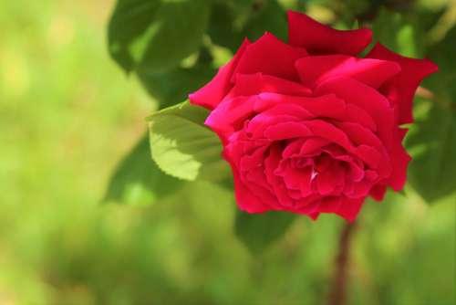Rose Spring Flower Nature Love Romantic Plant