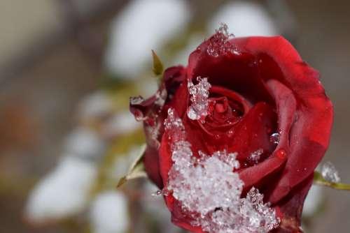 Rose Flower Red Rose Bloom