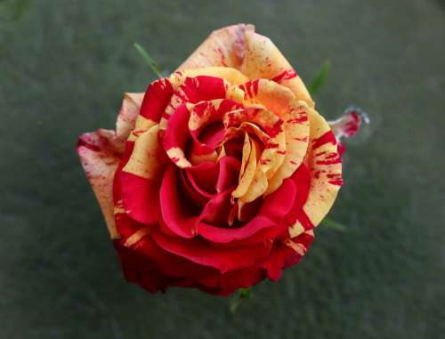 Rose Red Yellow Flower Petals Coloring Plant