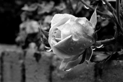 Rose Flower Nature Summer Garden Petals White