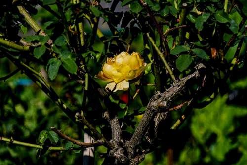 Rose Yellow Plant Beauty Garden Rosenstock