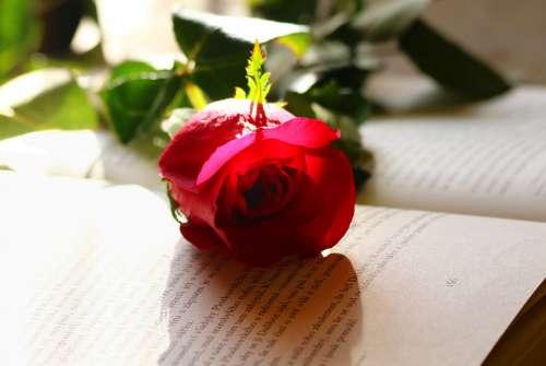 Rose Love Romance Flower Red
